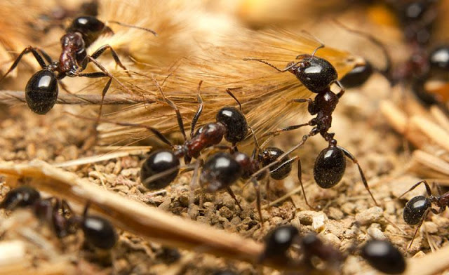 le formiche ci insegnano la cooperazione